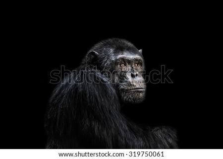 Sad chimp portrait black background. #319750061