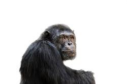 Sad chimp portrait isolated on white background.