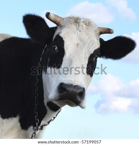 Sad cow over blue sky background