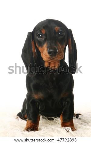 Sad dachshund puppy in front of white background