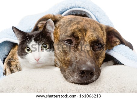 sad dog and cat lying on a pillow under a blanket. isolated on white background