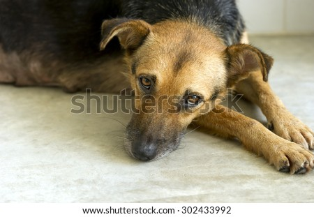 Sad dog is a very sad eyed dog looking lost lonely and abandoned.