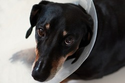 Sad dog lying on a bed sick with vet plastic Elizabethan collar on neck. A dachshund in a dog collar. Treatment of Pets. Operation of dogs and animals. Veterinary clinic for dogs