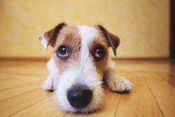 Sad dog lying on floor at home. Cute pet looking at camera