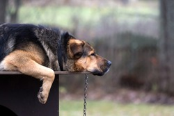 Sad dog on a chain lying on dogs hut. This is crossbreed of Tibetian mastiff and German shepherd dog.