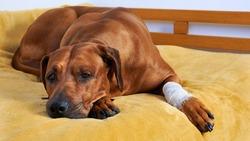 Sad dog with white bandage on paw lying on bed.