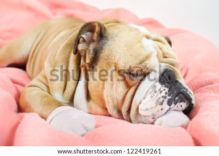 Sad english bulldog dog resting on a bed on pink fleece blanket