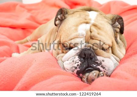 Sad english bulldog dog resting on a bed on pink fleece blanket