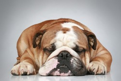 Sad English bulldog lying on a grey background. Close-up portrait