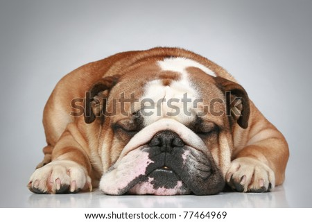 Sad English bulldog lying on a grey background. Close-up portrait