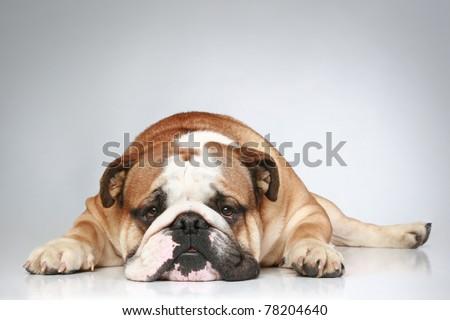 Sad English bulldog lying on grey background. Close-up portrait