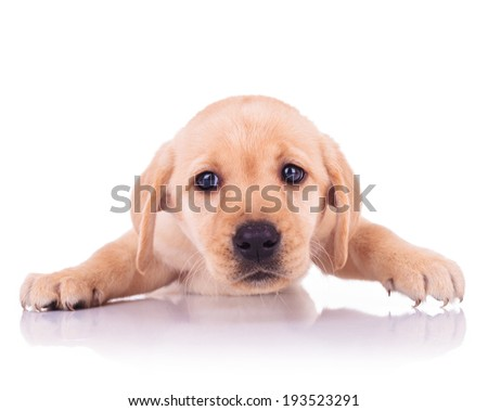 sad face of a little cute labrador retriever puppy dog on white background