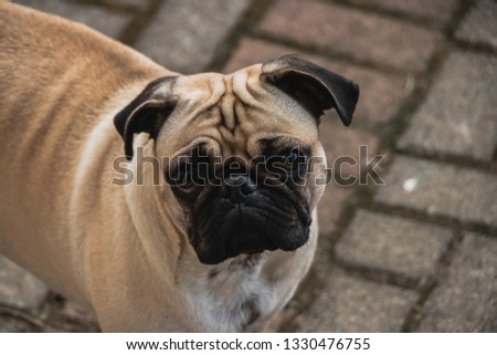Sad face of a pug dog posing for picture