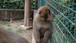 Sad face of monkey capuchin on cage sitting on fence. Exotic animal