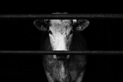 Sad farm cow behind bars with black background.