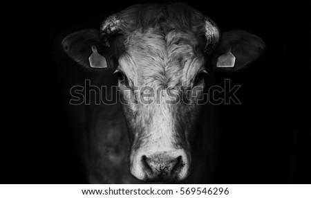 Sad farm cow close up portrait on black background.