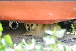 Sad feared little dog hiding under the car. Abused dogs in Slovak gypsy village.