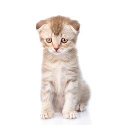 Sad flap-eared kitten. isolated on white background