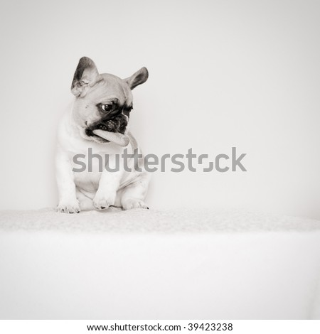 sad french bulldog puppy with a biscuit in his mouth, looking down, in a studio