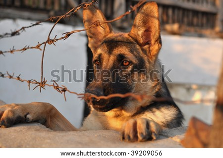 Sad german shepherd dog looking at the street behind the barb wire