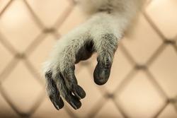 Sad gibbon behind the Cage Gibbon hands