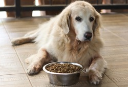 Sad golden retriever dog get bored of food.Golden retriever dog laying down by the bowl of dog food , looking at the camera.
