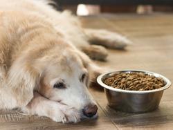 Sad golden retriever dog get bored of food.Golden retriever dog laying down by the bowl of dog food and ignoring it.