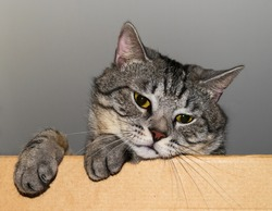 sad gray tabby cat looks out of the box