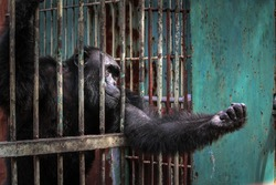 sad imprison chimp hope for help and freedom