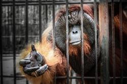 sad imprison orangutan hope for help and freedom