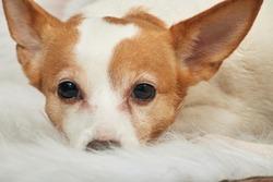 sad jack russell terrier dog lying on fur closeup portrait