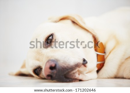 Sad labrador retriever is lying down on floor.