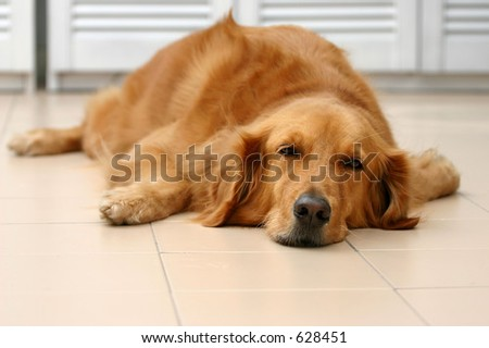 Sad lazy golden retriever lying flat on the floor