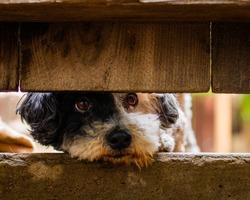Sad lonely dog looking under old fence (poodle)