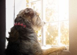 Sad lonely dog with separation anxiety looking out a window for owners to return home
