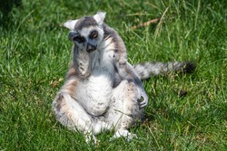 Sad lonely ring tailed lemur (Lemur catta)
