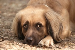 Sad look of a dog lying on the ground. Red dog photographed close-up. The muzzle and paws of a red dog.  The dog's emotions are reflected in her eyes. Walk with the dog. The mood for a walk