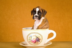 Sad looking Boxer puppy sitting in large cup