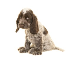 Sad looking cocker spaniel puppy dog sitting isolated on a white background