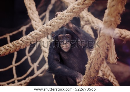 sad looking monkey on the ropes....