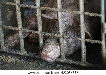 Sad looking pig in a pen.