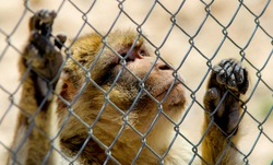 Sad monkey in a cage
