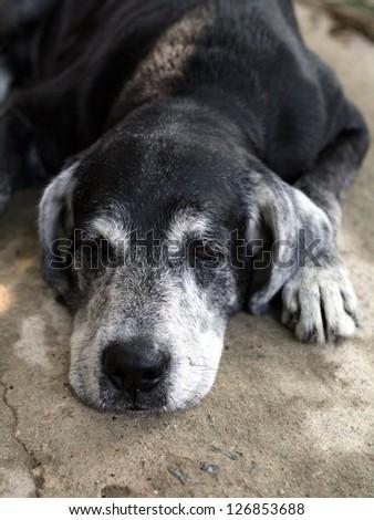 Sad old dog