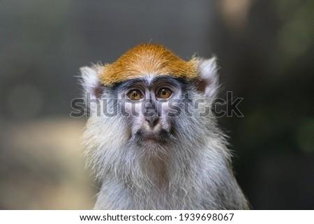 Sad patas monkey close up portrait. Frightened hussar monkey (Erythrocebus patas) with black moustache wearing melancholic expression. Foto stock ©