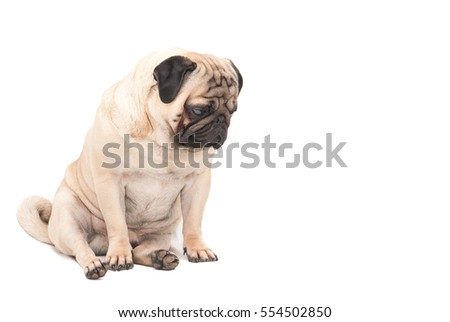 Sad pug dog isolated a white background. Picture for printed materials and backgrounds.