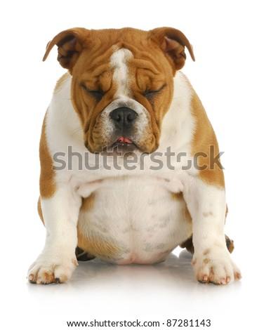 sad puppy - english bulldog sitting with sad expression with reflection on white background