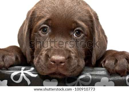 Sad puppy looks out of the box. Brown labored's puppy with sad eyes looks out of the box #100910773