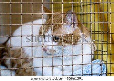 Sad red cat breeds bobtail in a cage at the exhibition