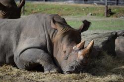 Sad rhino trapped in zoo