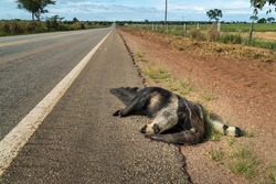 Sad scene of dead giant anteater, Myrmecophaga tridactyla, run over, killed by vehicle on the road. Wild animal roadkill in the amazon rainforest, Brazil. Concept of ecology, environment, biodiversity